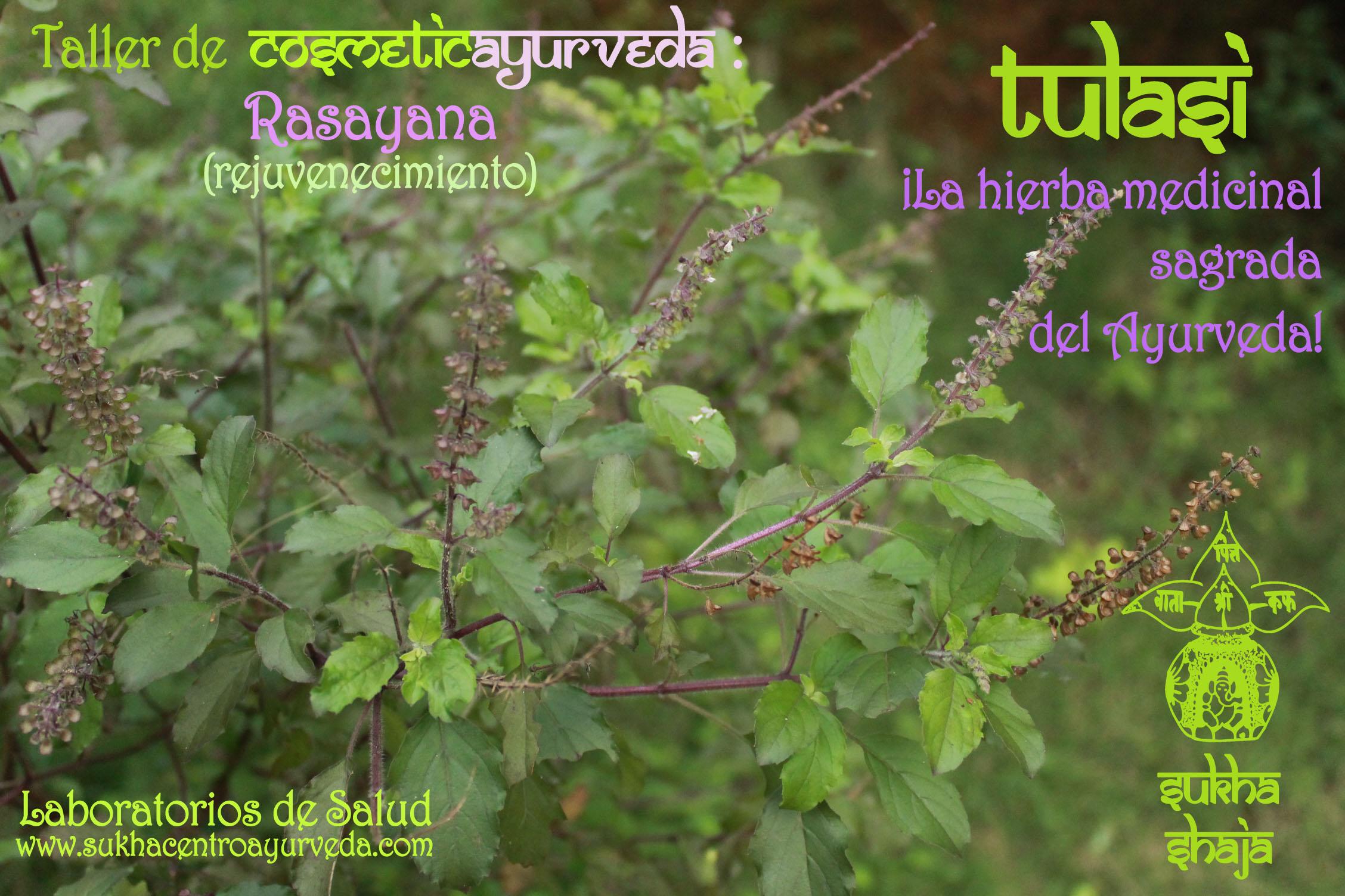 TULASI: ¡La hierba medicinal sagrada del Ayurveda!