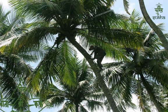 50.kerala-coconut